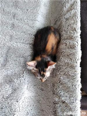 Adopție pisici - imagine 2