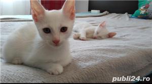 Adopție pisici - imagine 6