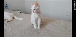 Adopție pisici - imagine 4