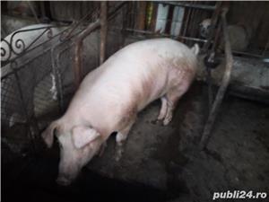 porc de vanzare  - imagine 5