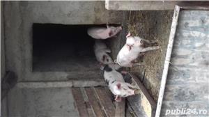 Purcei de carne din montă artificială,  - imagine 2