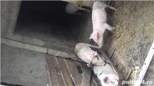 Purcei de carne din montă artificială,  - imagine 3