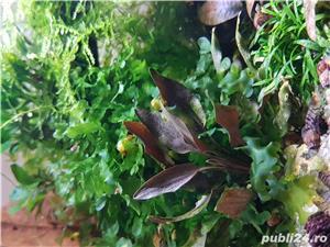 Vand nano acvariu plantat cu creveti tiger cu ochi portocalii - imagine 7