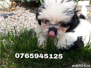 Pui shitzu(shih-tzu) - imagine 1
