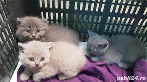 Pisica British Shorthair Blue - imagine 1