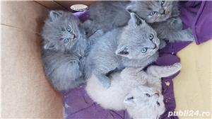 Pisica British Shorthair Blue - imagine 2