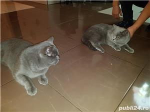 Pisica British Shorthair Blue - imagine 3
