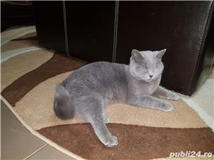 Pisica British Shorthair Blue - imagine 4