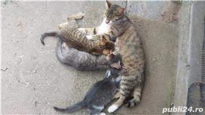 Ofer spre adopție pisicute - imagine 4