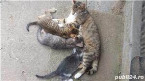 Ofer spre adopție pisicute - imagine 5
