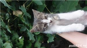 Ofer spre adopție pisicute - imagine 2