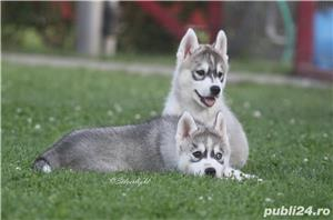 catei husky siberian cu pedigree - imagine 3