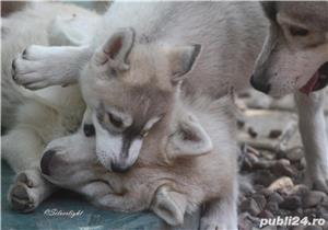 catei husky siberian cu pedigree - imagine 7