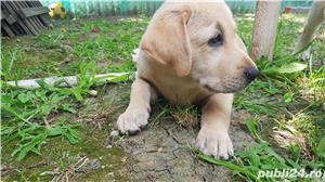 Labrador - imagine 13