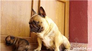 Pui bulldog francez calitate show cu pedigree!! (poze reale) - imagine 6