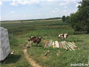 Vand doua vaci, 4 vitei, pasari de curte (gaini,rate, curci) crescute bio - imagine 3