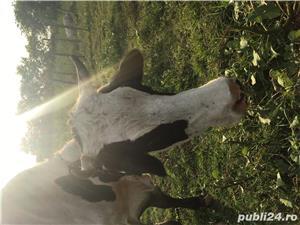 Vand doua vaci, 4 vitei, pasari de curte (gaini,rate, curci) crescute bio - imagine 8