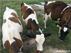 Vand doua vaci, 4 vitei, pasari de curte (gaini,rate, curci) crescute bio - imagine 6