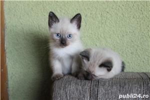 Pisicute birmaneze - imagine 3