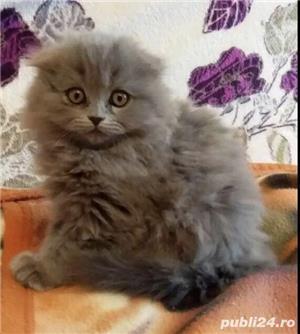 Vindem pisicute scottish fold bucuresti brasov constanta oradea - imagine 5