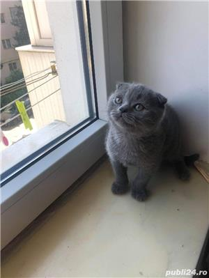 Motanel scottish fold blue - imagine 5