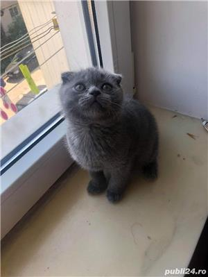 Motanel scottish fold blue - imagine 7