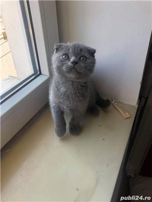 Motanel scottish fold blue - imagine 6
