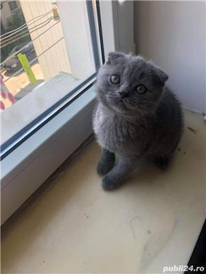 Motanel scottish fold blue - imagine 4
