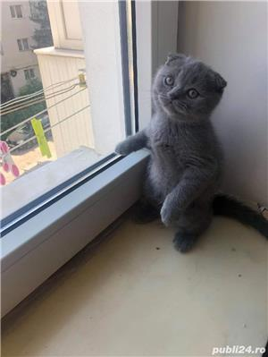 Motanel scottish fold blue - imagine 3