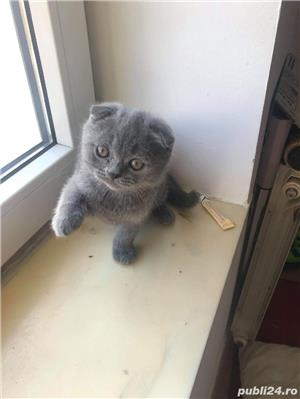 Motanel scottish fold blue - imagine 1