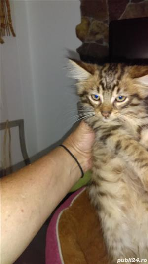 Pisicute maine coon - imagine 2