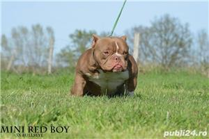 american bully pocket cu pedigree !!! - imagine 4
