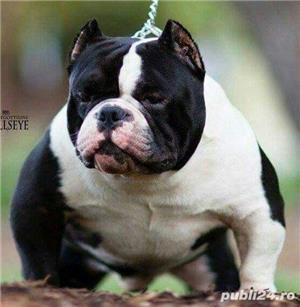 american bully pocket cu pedigree !!! - imagine 5