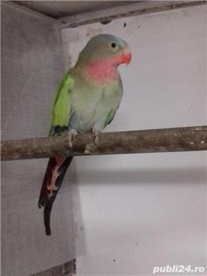 Vând papagali - imagine 1