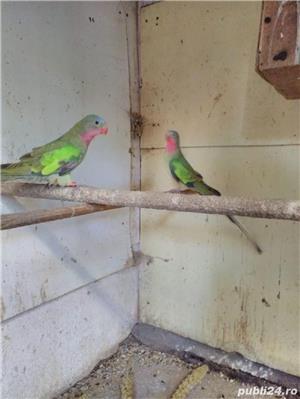 Vând papagali - imagine 2