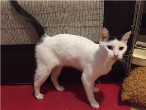 Ofer pisicuta angora turcească gratis - imagine 6