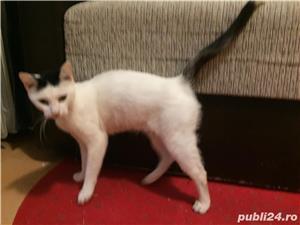Ofer pisicuta angora turcească gratis - imagine 7