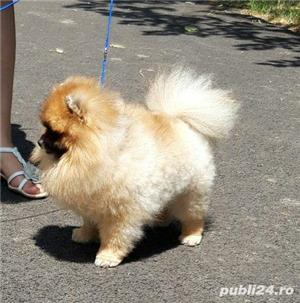 Pomeranian pui talie mica - imagine 6