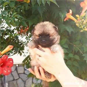 Pomeranian pui talie mica - imagine 2