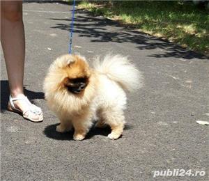 Pomeranian pui talie mica - imagine 5