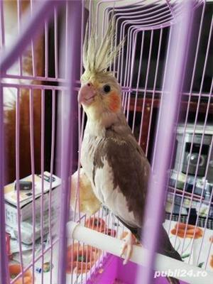 Papagal nimfa  - imagine 2