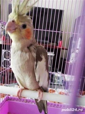 Papagal nimfa  - imagine 4