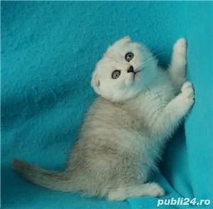 Feline british si scottish poze reale - imagine 6