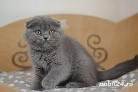 Feline british si scottish poze reale - imagine 1