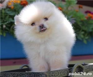 Pomeranian boo alb imaculat - imagine 6