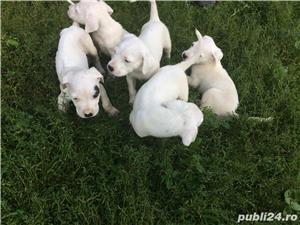 Vând cățelușii Dog argentinian  - imagine 5