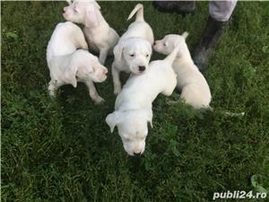 Vând cățelușii Dog argentinian  - imagine 6