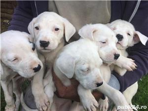 Vând cățelușii Dog argentinian  - imagine 3