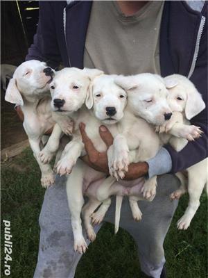 Vând cățelușii Dog argentinian  - imagine 1