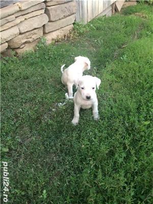 Vând cățelușii Dog argentinian  - imagine 2